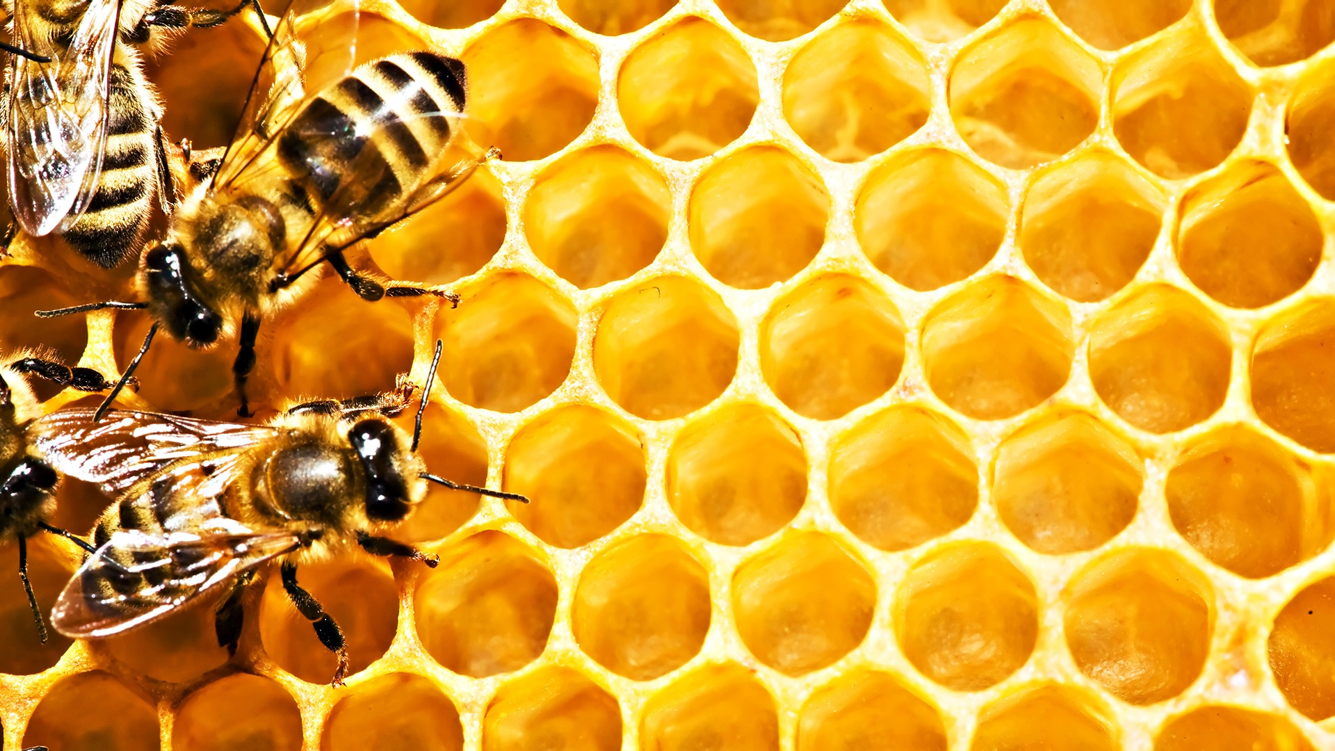 68051848-bees-wallpapers